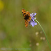 Paarse Parelmoervlinder; Boloria dia; La Petite Violette; HainveilchenPerlemutterfalter; Weaver's Fritillary
