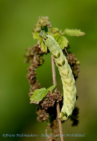 Perzikkruiduil; Melanchra persicariae; Dot moth; FlohkrautEule; Rups; Caterpillar; Chenille