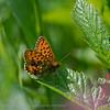 Purperstreepparelmoervlinder; Brenthis ino; MädesüßPerlmutterfalter; Violetter Silberfalter; Lesser marbled fritillary; Nacré de la sanguisorbe