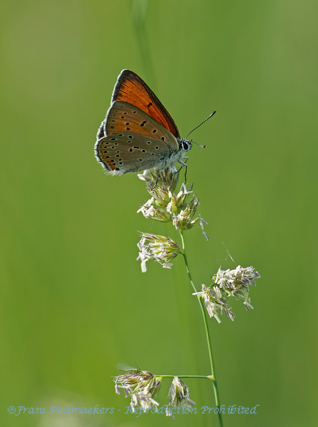 Rode vuurvlinder; Lycaena hippothoe; Purpleedged copper; Cuivré écarlate; LilagoldFeuerfalter