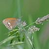 Roodstreephooibeestje; Coenonympha glycerion; Chestnut heath; Fadet de la mélique; Iphis; SemiProcris; Rotbraune Wiesenvögelchen