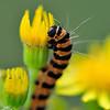 Sintjacobsvlinder; Tyria jacobaeae; Goutte de sang; Cinnabar moth; Jakobskrautbär
