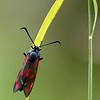 Sintjansvlinder; Zygaena filipendulae; Sixspot burnet; SechsfleckWidderchen; Zygène de la filipendule; Sphinx bélier