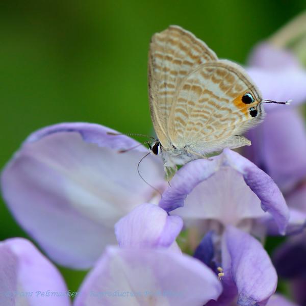 Tijgerblauwtje; 2015; Lampides boeticus; L'Argus Portequeue; Geschwänzter Blasenstrauchbläu; Longtailed Blue