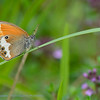 Tweekleurig hooibeestje; Coenonympha arcania; Pearly Heath; Weißbindiges Wiesenvögelchen; Perlgrasfalter; Céphale; Arcanie