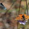 Tweekleurige parelmoervlinder; Melitaea didyma; Le Damier Orangé; Roter  Scheckenfalter; Spotted Fritillary