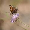 Veldparelmoervlinder 2020 Melitaea cinxia Glanville fritillary Mélitée du plantain WegerichScheckenfalter Le damier