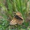 Veldparelmoervlinder; Melitaea cinxia; Glanville fritillary; Mélitée du plantain; WegerichScheckenfalter
