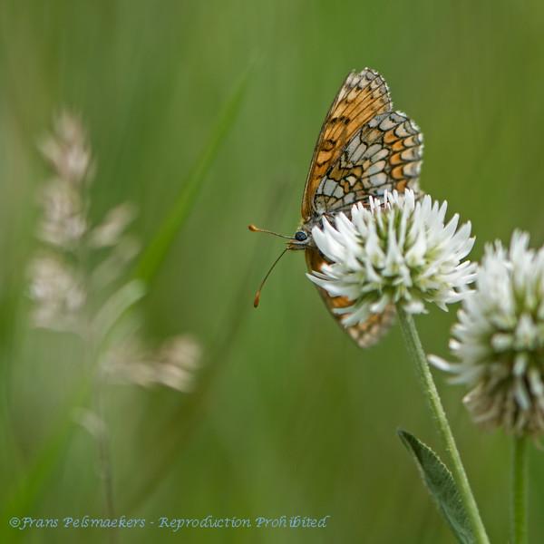 Westelijke parelmoervlinder Melitaea parthenoides Meadow fritillary Mélitée des scabieuses Westlicher Scheckenfalter