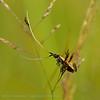 Wilgenlangsprietmot; Adela cuprella