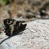 Witbandzandoog Brintesia circe Great banded grayling Silène Weißer Waldportier