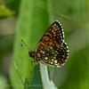 Woudparelmoervlinder; Melitaea diamina; False heath fritillary; Mélitée noirâtre; Damier noir; BaldrianScheckenfalter; Silberscheckenfalter