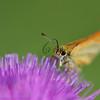 Zwartsprietdikkopje; Thymelicus lineola