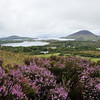 More in the Connemara area - tons of wild heather grows along with the peat bogs.