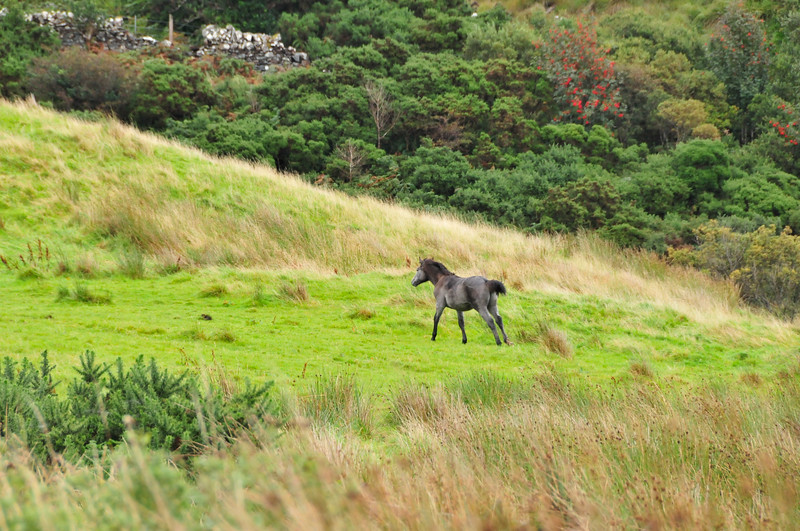A young wild pony in the Connemara National Park.
