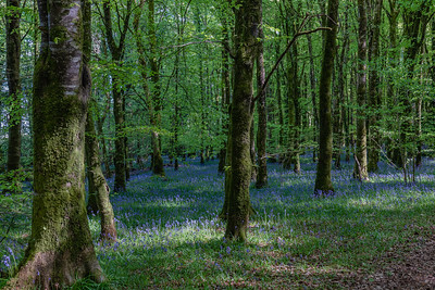 Derren Bluebell Woods