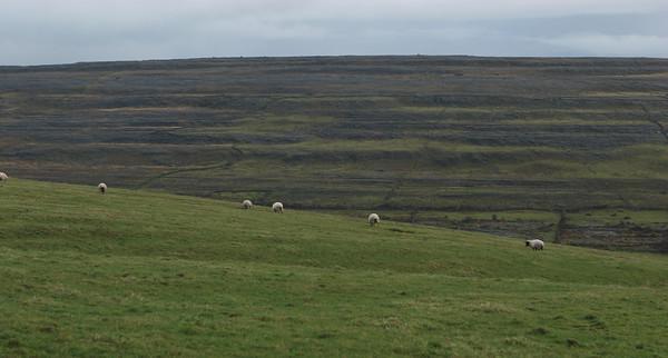 Sheep grazing on the Burren. Ireland