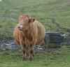 Pregnant Cow, coast of County Clare, Ireland