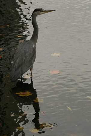 Grey Heron, Grand Canal, Dublin