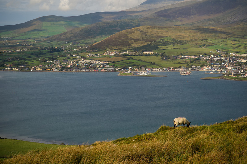 Lone Sheep, Dingle Bay, Dingle Peninsula