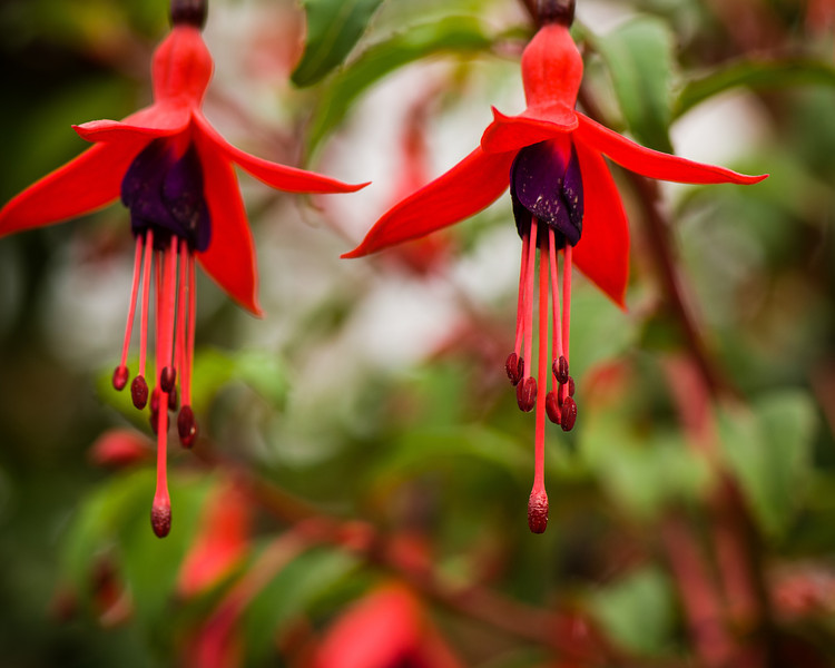 Fuchsia Plant , Dingle Area