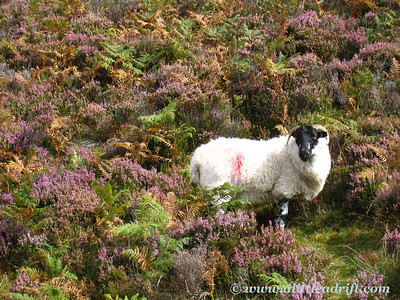 Sheep and wild heather
