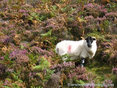 Sheep and wild heather