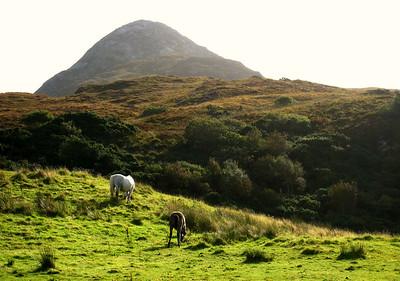Grazing horses in Connemara, Ireland