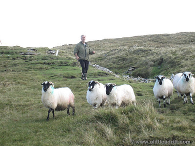 Irish Man Herding Sheep