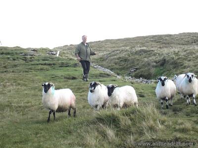 Irish Man Herding Sheep