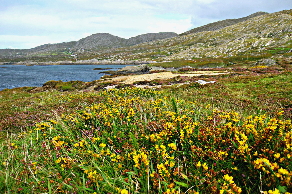 Brilliant Irish Heather and Yellow on the Ring of Kerry in Ireland