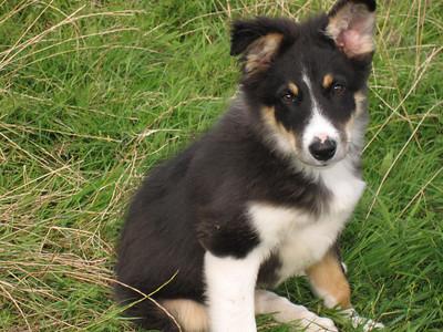 Cute Irish puppy!