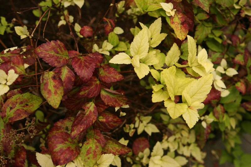 Spiraea Candlelight.  It seems sick, was badly crowded by the Ceanothus Southmead growing above it.