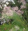 Aruncus dioicus (Goatsbeard) (?) - August. The leaves seem wrong, though.