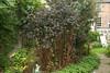 physocarpus opulifolius diablo - September