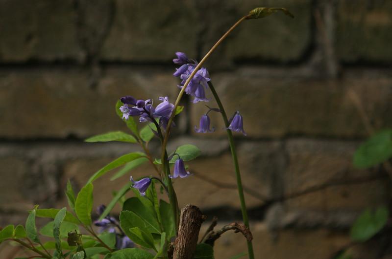 Blue bells, April, Dublin