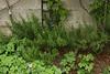 Very happy Rosemary bush back near the greenhouse. September.