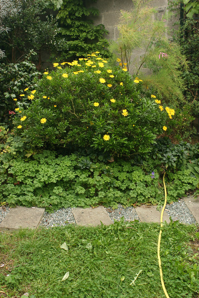 Bush with yellow flowers. This is the second bloom, after dead-heading it.