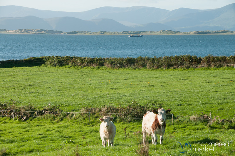Cows on the Dingle Peninsula - County Kerry, Ireland