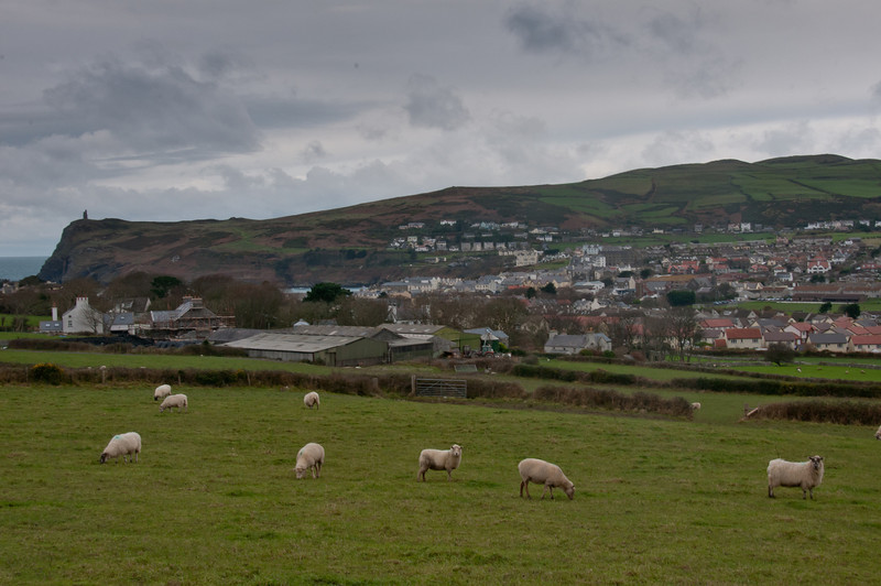 Herd of sheep feeding on grass at Isle of Man