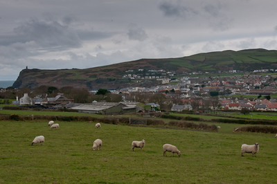 Herd of sheep feeding on grass at Isle of Man