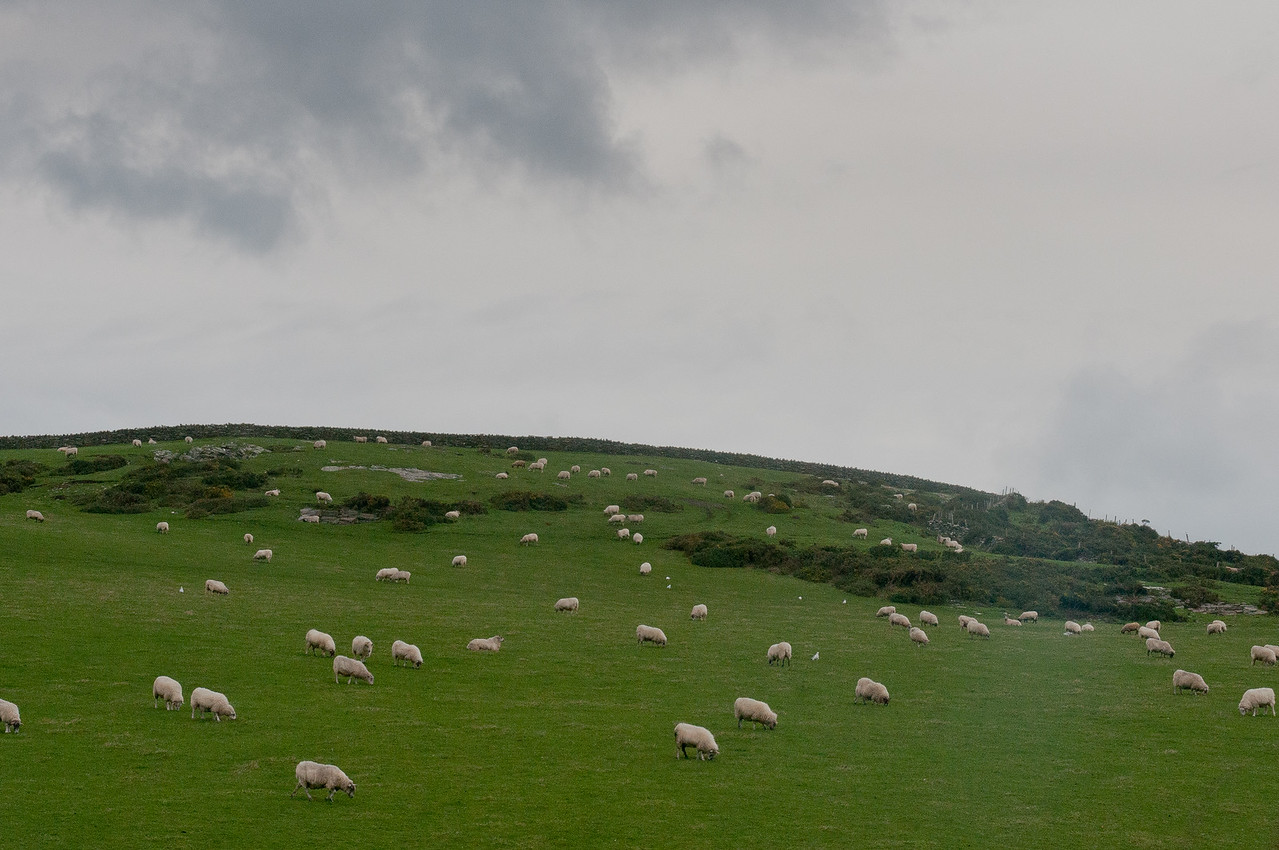Herd of sheep dispersed throughout green field in Isle of Man