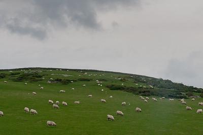 Herd of sheep dispersed throughout green field in Isle of Man