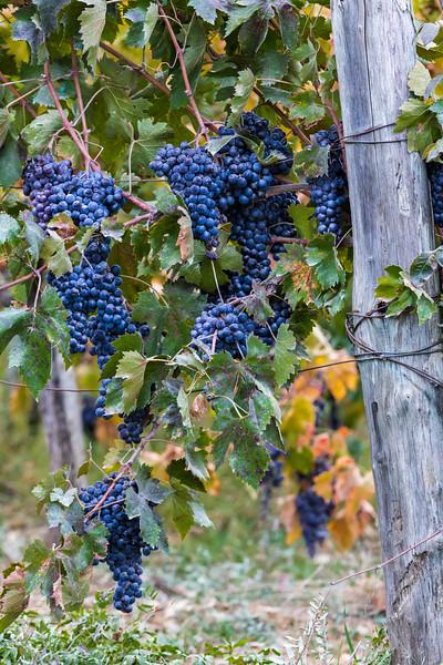 Wine Grapes, Panzano in Chiante