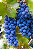 Wine Grapes, Panzano in Chiante