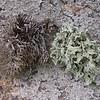 Sa 2062 Roccella phycopsis + Ramalina spec