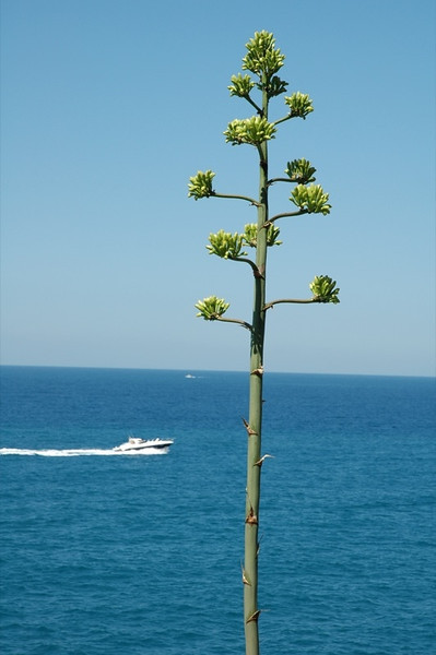 Lonely Tree - Liguria, Italy