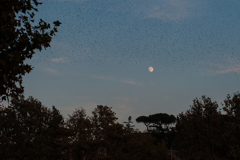 Thousands of Birds Circle at Moon Rise - Rome