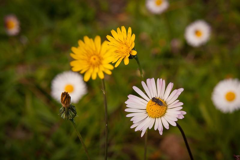 Wild Flowers - Ostia Antica