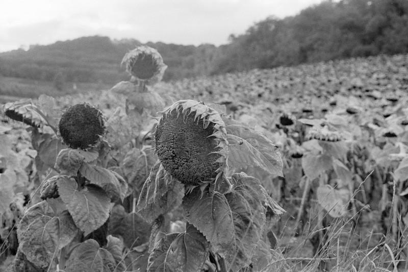 Girasole (Sunflowers) - Tuscany, Italy